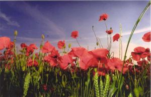 mc_poppy_images_3